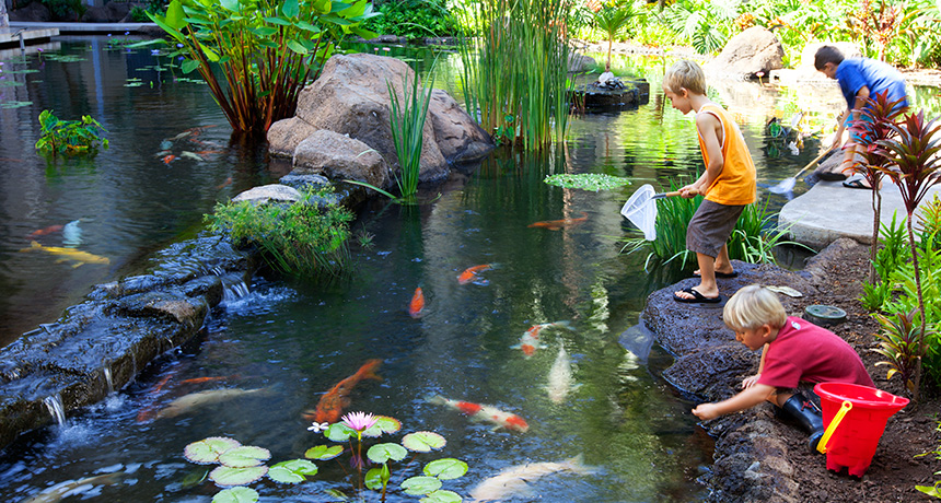 Koi fish feeding frenzy the westin ka 39 anapali ocean for What do fish see