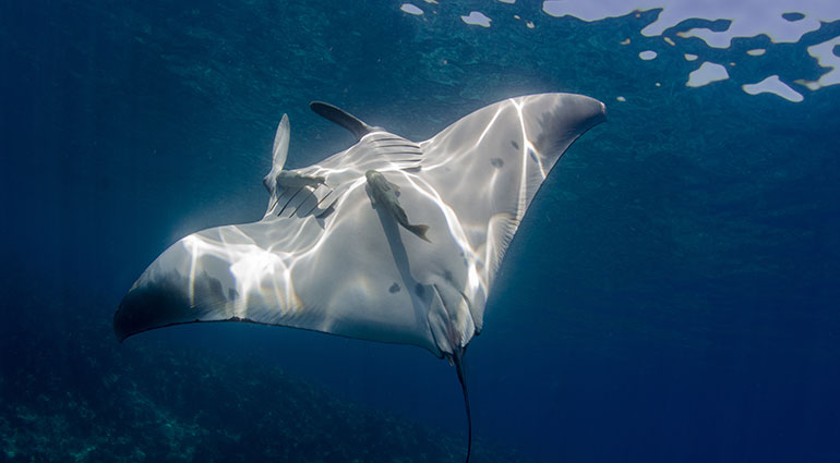 A giant manta ray swimming off Los Cabos, Mexico